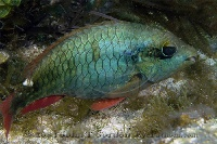 Redband Parrotfish Initial Phase