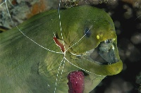Green Moray and Scarlet-Striped Shrimp