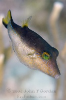 Sharpnose Puffer Profile 4