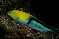 Yellowhead Wrasse Profile