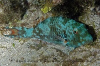 Redtail Parrotfish Night Coloration 2