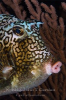 Honeycomb Cowfish Portrait 3