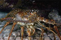 Spiny Lobster 2