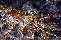 Spiny Lobster 3