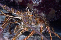 Spiny Lobster 4