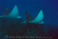 Eagle Ray Pair