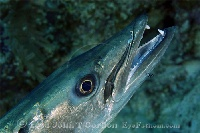 Barracuda with Neon Goby