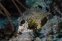 Smooth Trunkfish on Reef 2
