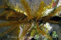 Golden Crinoid 2