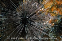 Long-Spined Urchin 1