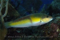 Yellowhead Wrasse Intermediate Profile 2