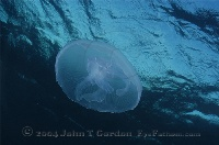 Moon Jelly just below Surface
