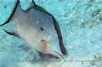 Hogfish feeding