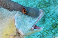 Hogfish Feeding really close