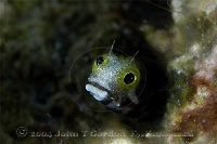 Spinyhead Blenny Portrait 1