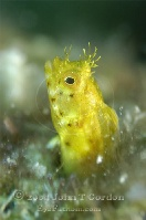 Roughhead Blenny Female Profile