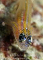 Peppermint Goby Portrait