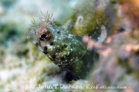 Roughhead Blenny Male Portrait
