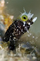 Secretary Blenny Profile 2