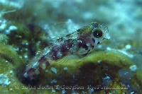 Secretary Blenny Profile 3
