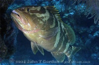 Nassau Grouper Cleaning Station