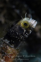 Spinyhead Blenny Portrait 3