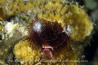 Christmas Tree Worm Maroon White Tip