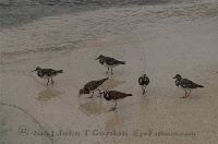 Sandpipers on the Beach 2