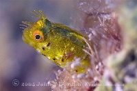Roughhead Blenny Female Portrait