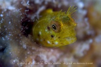Roughhead Blenny Female Portrait 2