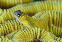 Peppermint Goby Portrait 2