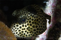 Spotted Trunkfish Juvenile