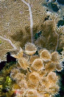 Sea Fan and Social Featherduster