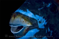 Midnight Parrotfish Portrait