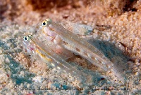 Dash Goby Pair Profile