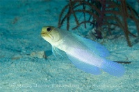 Yellowheaded Jawfish Profile
