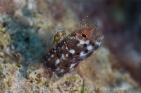 Roughhead Blenny Male Portrait 6