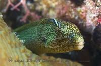 Goldentail Moray and Shark Nose Goby