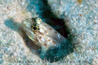 Bridled Goby Portrait