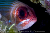 Squirrelfish Portrait