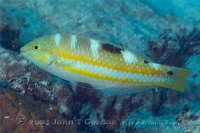 Puddingwife Juvenile