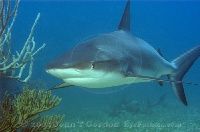 Reef Shark Profile 2