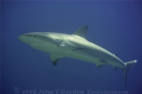 Reef Shark in the Sun