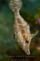Slender Filefish Profile 1