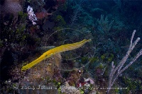 Trumpetfish on Reef Yellow Phase 2