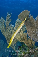 Trumpetfish on Reef Yellow Phase 3