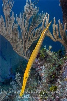 Trumpetfish on Reef Yellow Phase 4