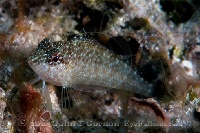 Rosy Blenny Female Profile