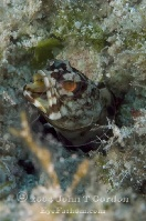 Dusky Jawfish Portrait