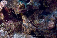 Spiny Lobster 5
